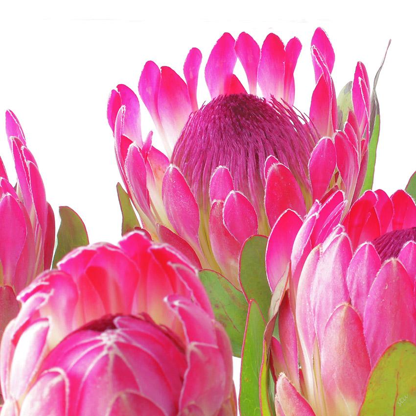 protea sylvia.jpg