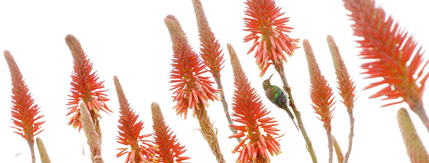 aloe.sunbird