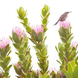 compacta sugarbird 1.jpg