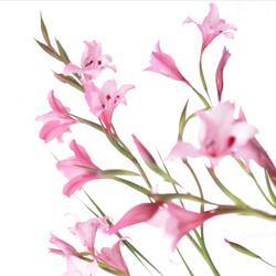 gladiolus carneus 1.jpg