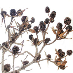 leucedendron floridum.jpg