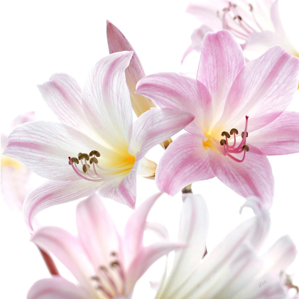 amarylis belladonna.jpg