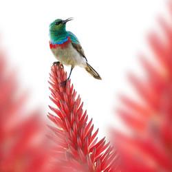 aloe sunbird 2.jpg