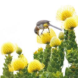pincushion/sugarbird