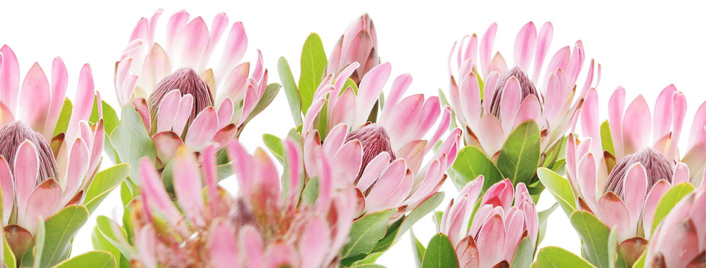 protea.compacta