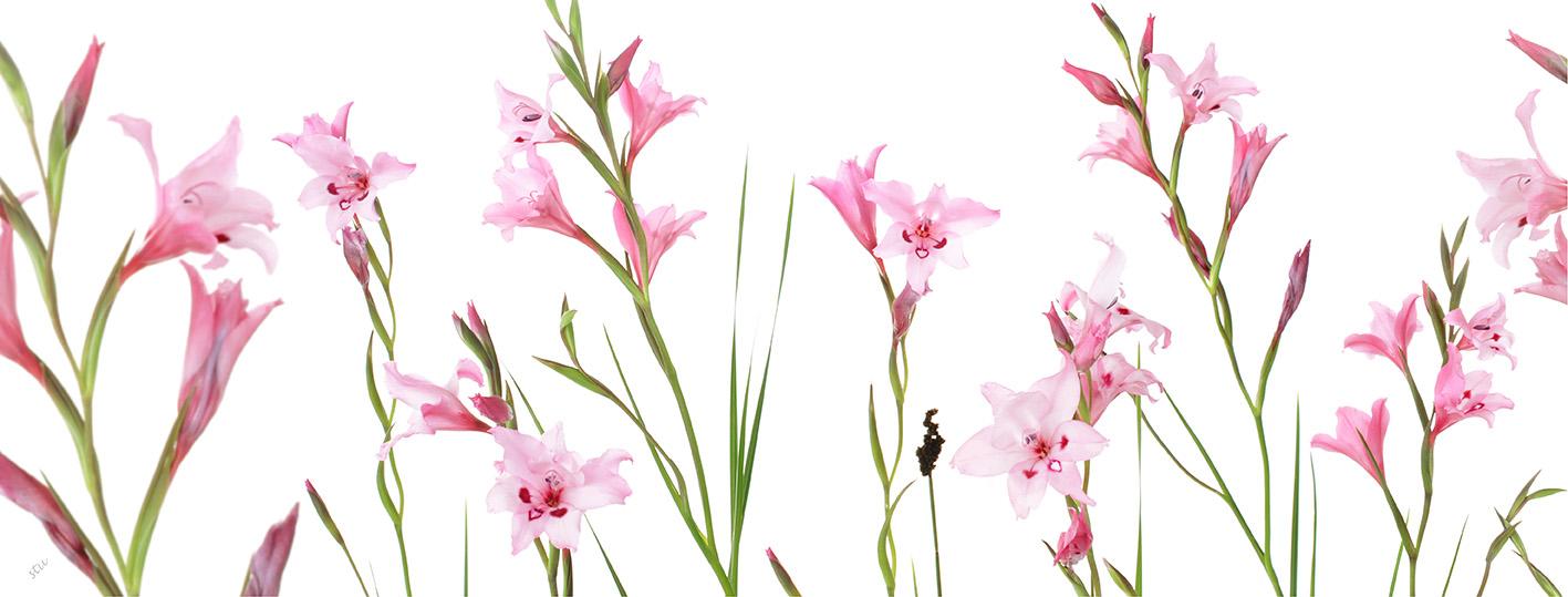 gladiolus.carneus
