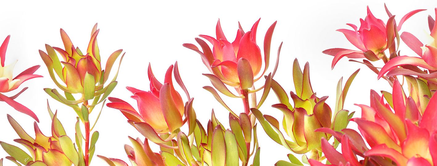 leucedendron