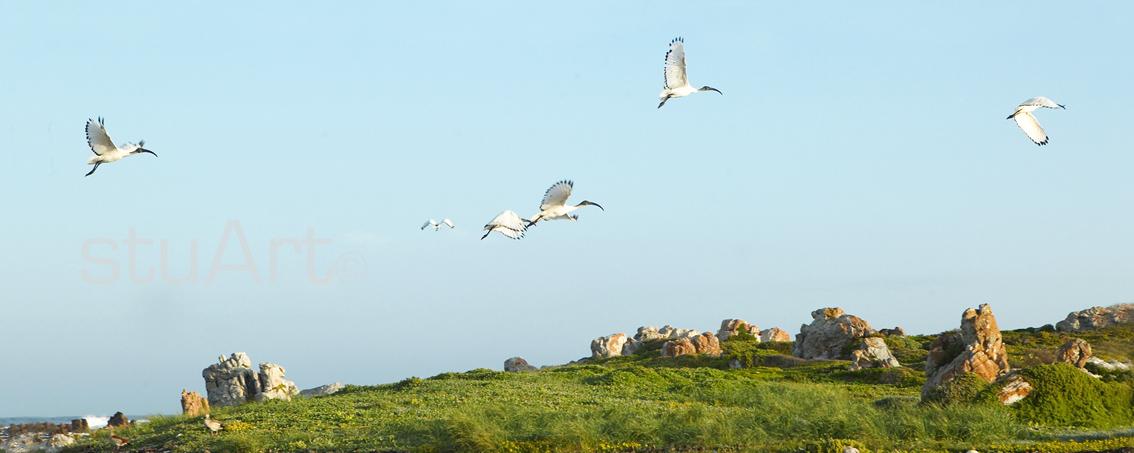 020 sacred ibis.jpg