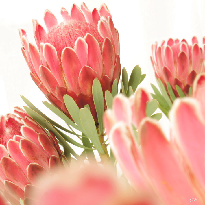 protea aristata x 1.jpg