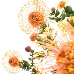 leucospermum cordifolum 1.jpg