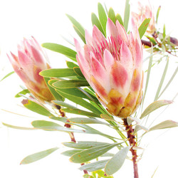 protea repens 4.jpg