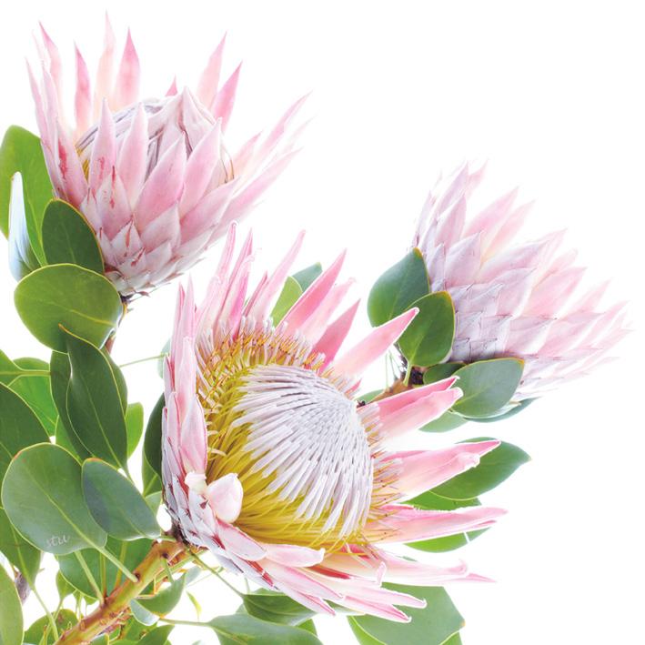 protea cynaroides 1.jpg