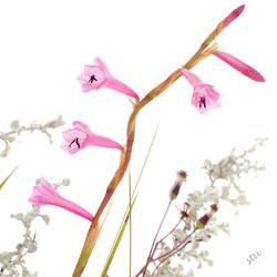 watsonia laccata