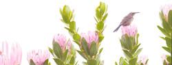 compacta. sugarbird