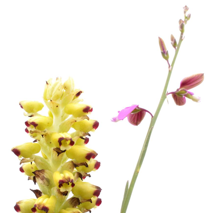 corycium orobanchoides.jpg