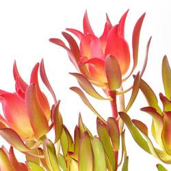 leucadendron salignum.jpg