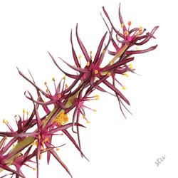 Wurmbea marginata