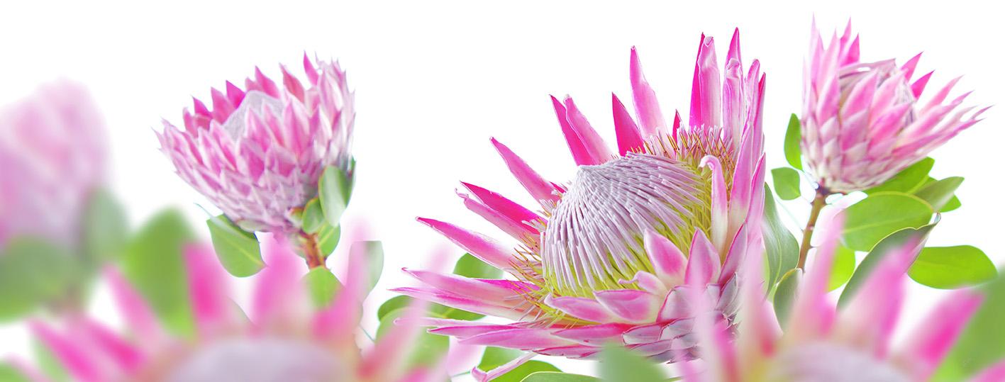 protea.cynaroides