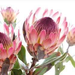 protea eximia.jpg