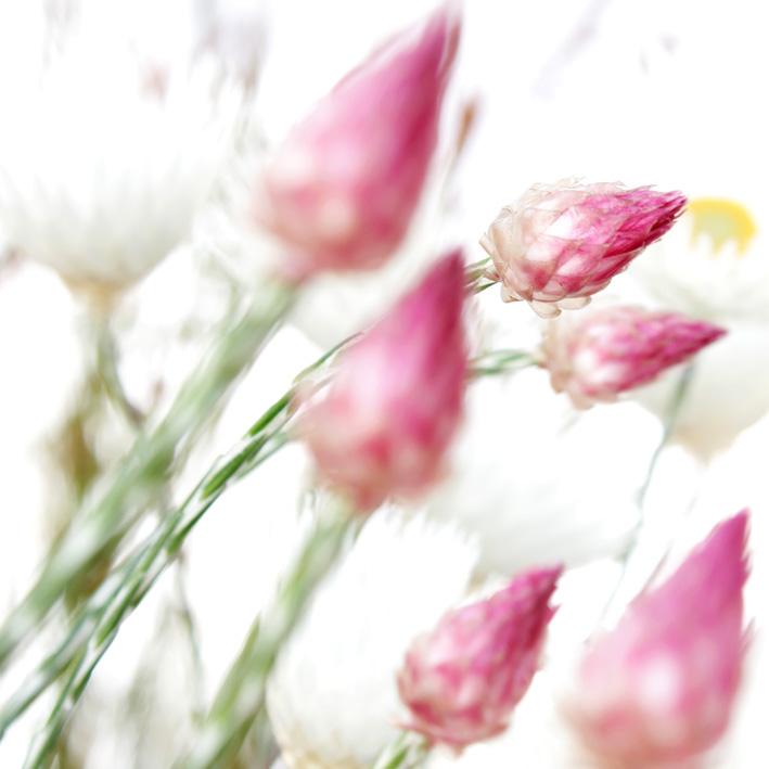 edmondia sesamoides .jpg