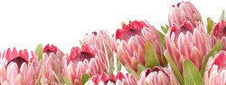 protea.pink.ice