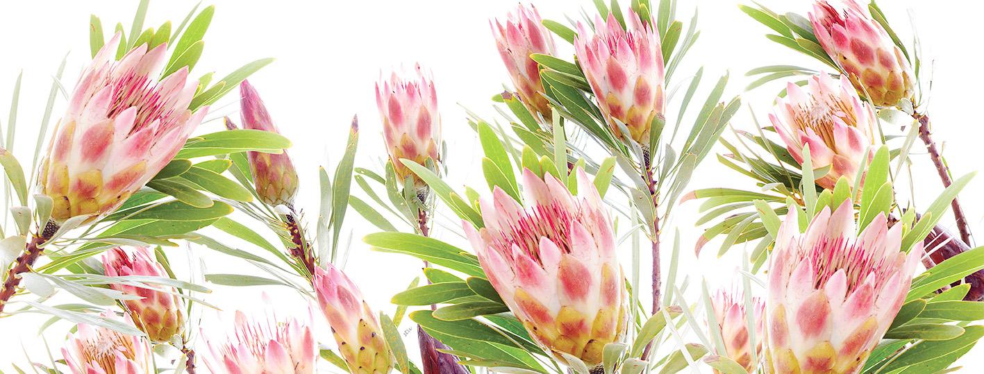 protea.repens