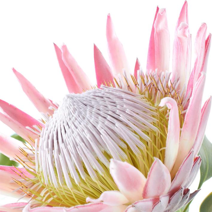 protea cynaroides 4.jpg