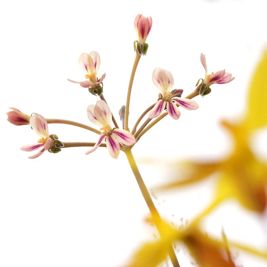 pelargonium triste.jpg