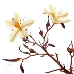 wachendorfia paniculata.jpg