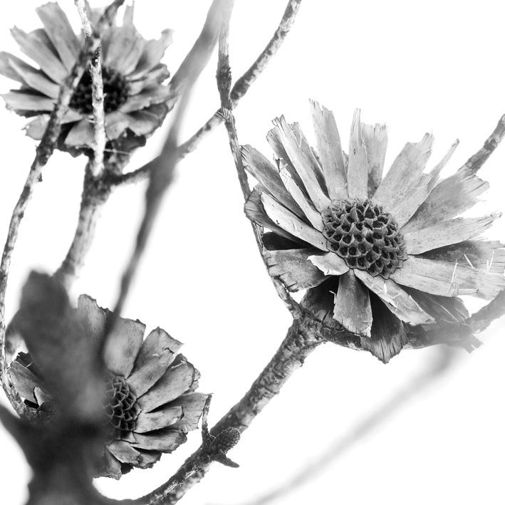 protea repens.jpg