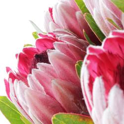 protea nerifolia x 1.jpg