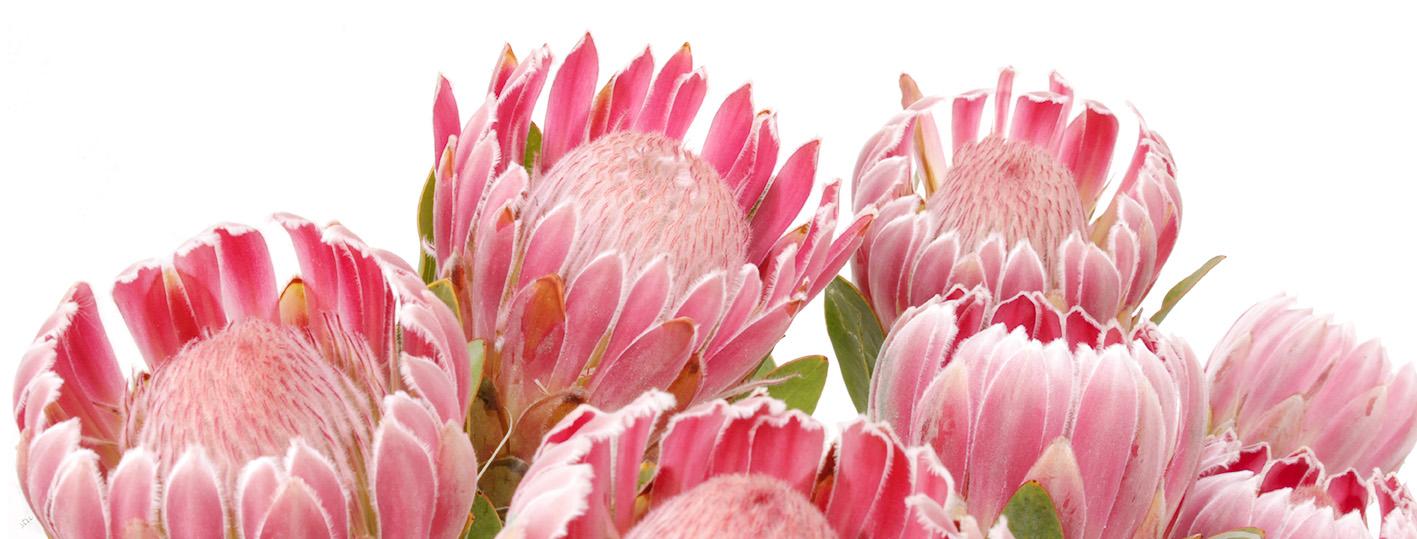 protea.trish.compacta