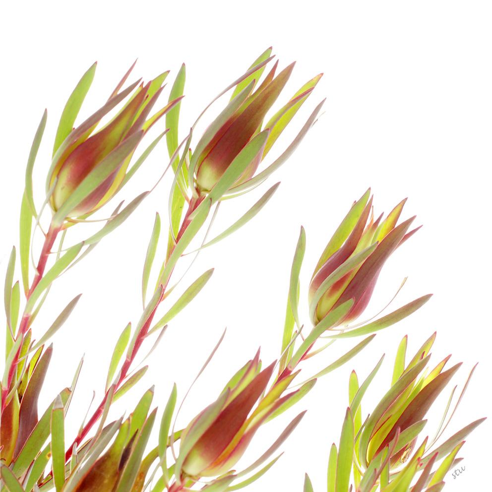 leucadendron salignum 3.jpg