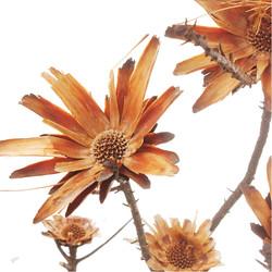 protea compacta.jpg