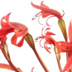 brunsvigia orientalis .jpg