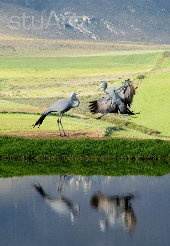 057 blue crane.jpg