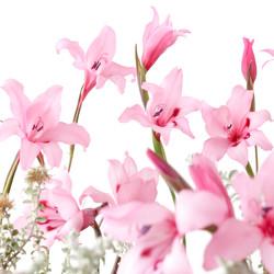 gladiolus carneus 2.jpg
