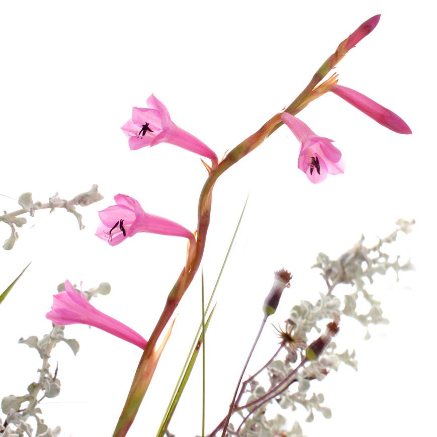 watsonia laccata.jpg