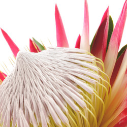 protea cynaroides 2.jpg