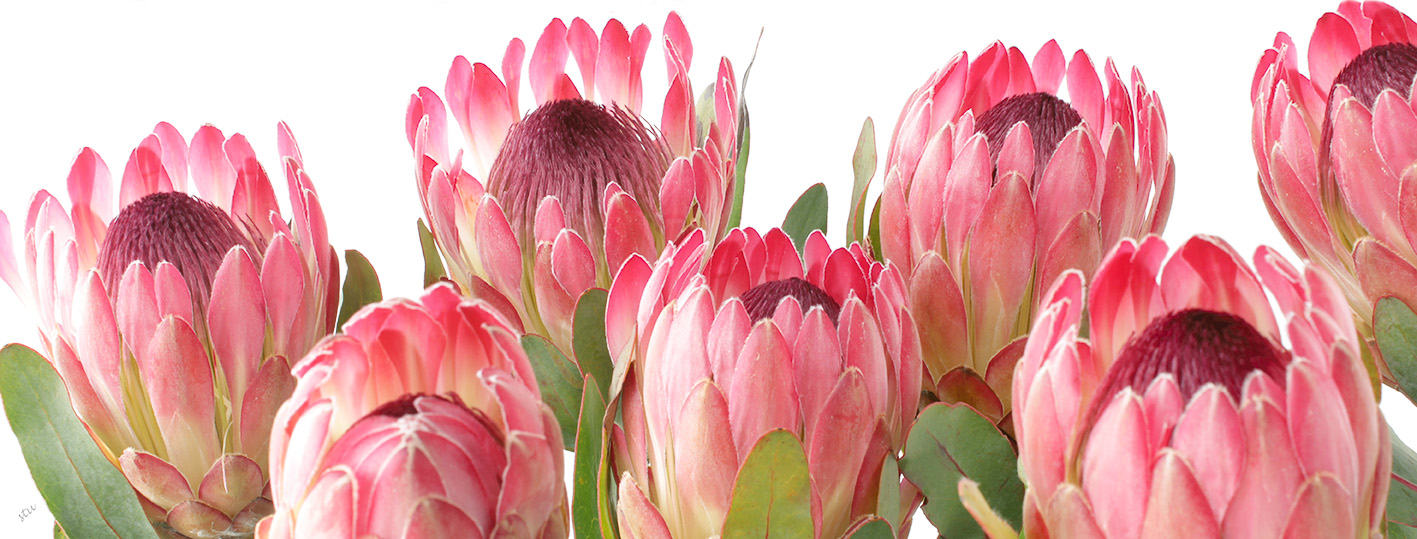 protea.sylvia