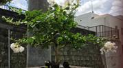 さるすべり(百日紅)の白い花