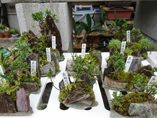 石付きミニ盆栽