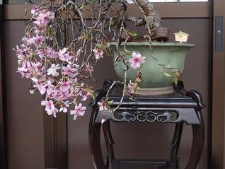 「桜」が開花