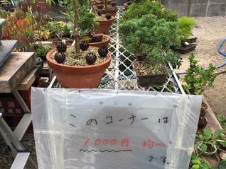 100円、500円の盆栽じゃ物足りない…
