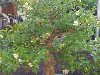 ヒメシャラの花が