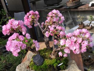 旭山桜が満開です!