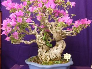 珍しい「ブーゲンビリア」の盆栽