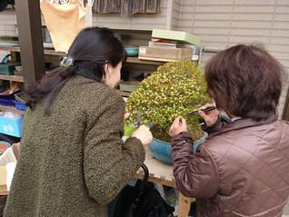 台湾ツゲの花摘み
