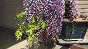 福岡市植物園『春の盆栽と山野草展』