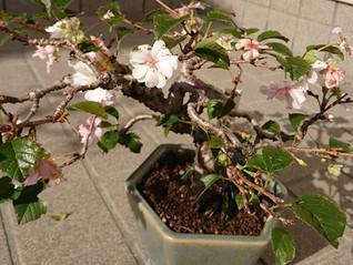 10月桜が見頃です